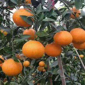 高原有機蜜柑(大隻2個裝)(每個約半磅)