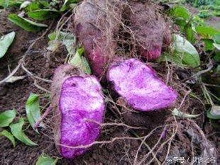 新界有機紫色參薯 (約一斤大大舊,煲湯煲糖水用)