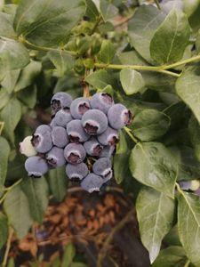極罕有 無防腐劑 有機高原泥土種植藍莓(星期五送貨)