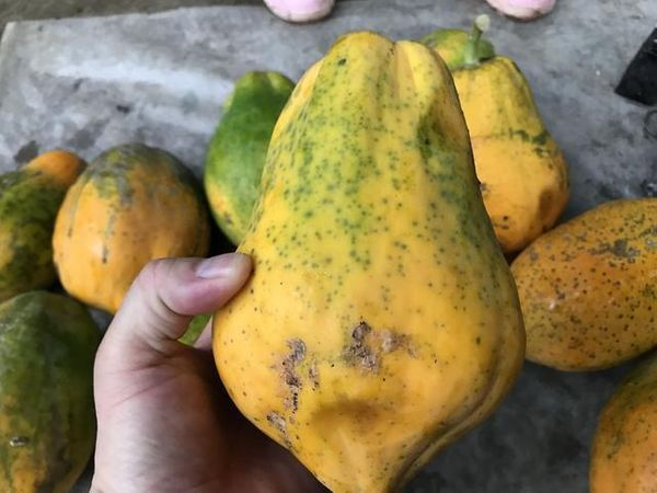 Local Organic Orange Papaya (approx. 1200g)