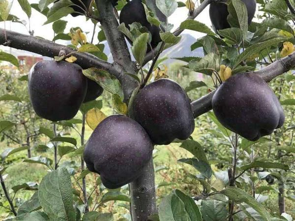 無果蠟 無防腐劑 有機高原泥土種植 紫蘋果(2個裝)